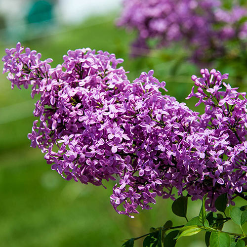 (1 Gallon) Lilac Sunday: Gorgeous plant with an abundance of sweetly scented, lavender flowers & deep green foliage. Blooms not only from the branch tips.