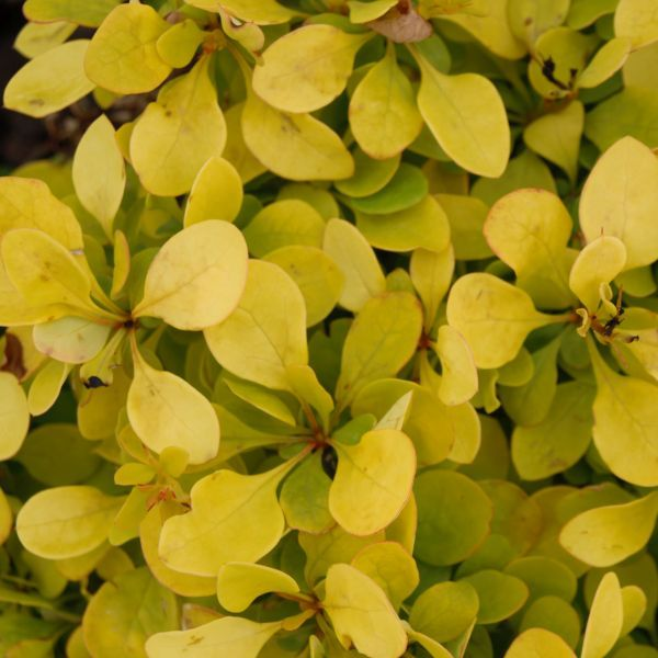 SUNJOY GOLD PILLAR Barberry has bright gold foliage that changes to a stunning orange red in Autumn. This deciduous shrub adds color, drama and  elegant flair to the landscape.
