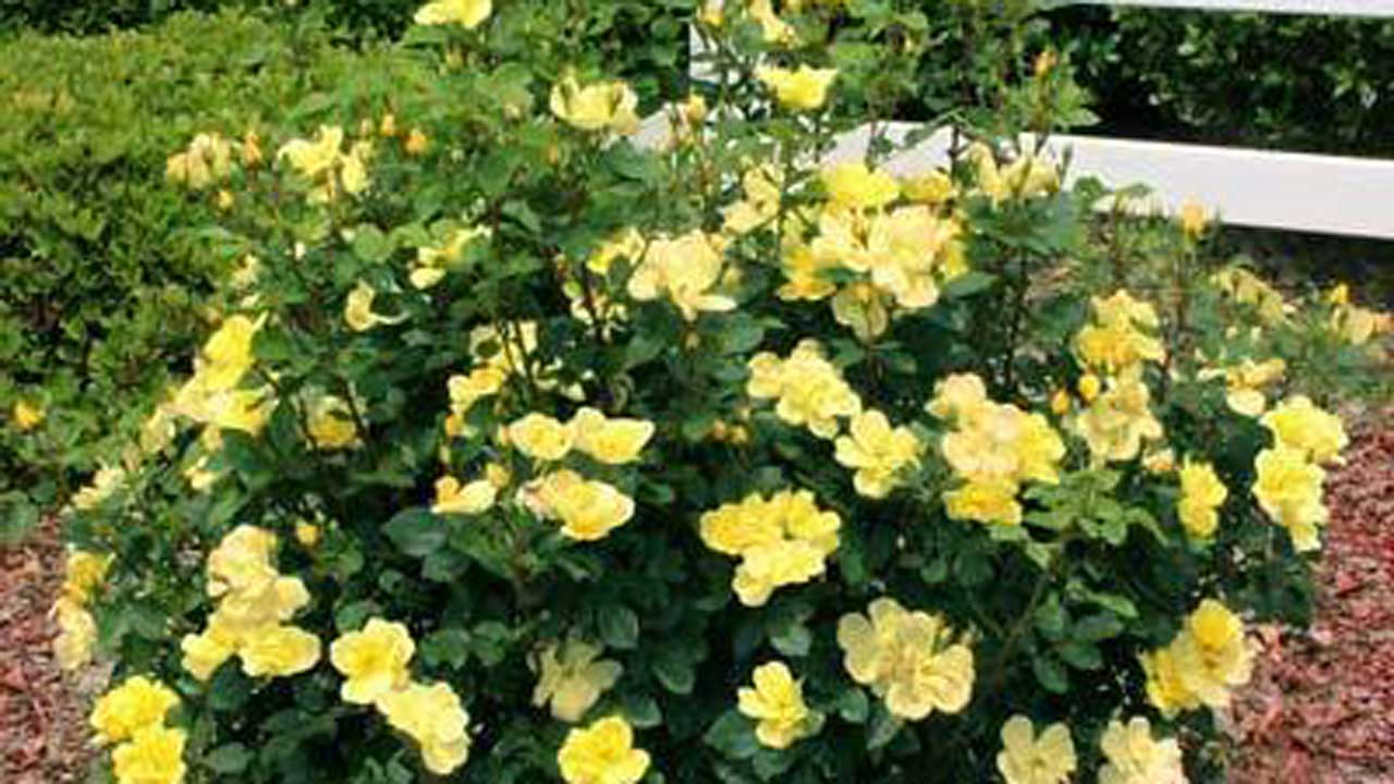 Sunny Knockout rose- the only fragrant member in The Knock Out Family. Slightly more compact and upright habit with bright yellow flowers that fade quickly to a pastel cream color.