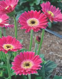 (1 Gallon) Gerbera Garvinea® Sweet Spice Gerber Daisy -  This large, daisy-like, rose and white flowers bloom on sturdy stems from spring to frost.