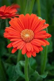 (1 Gallon) Gerbera Garvinea® Sweet Glow Perennial Gerber Daisy - These are brilliant orange-red flowers bloom above the lush green foliage clumps from early spring until the first frost.