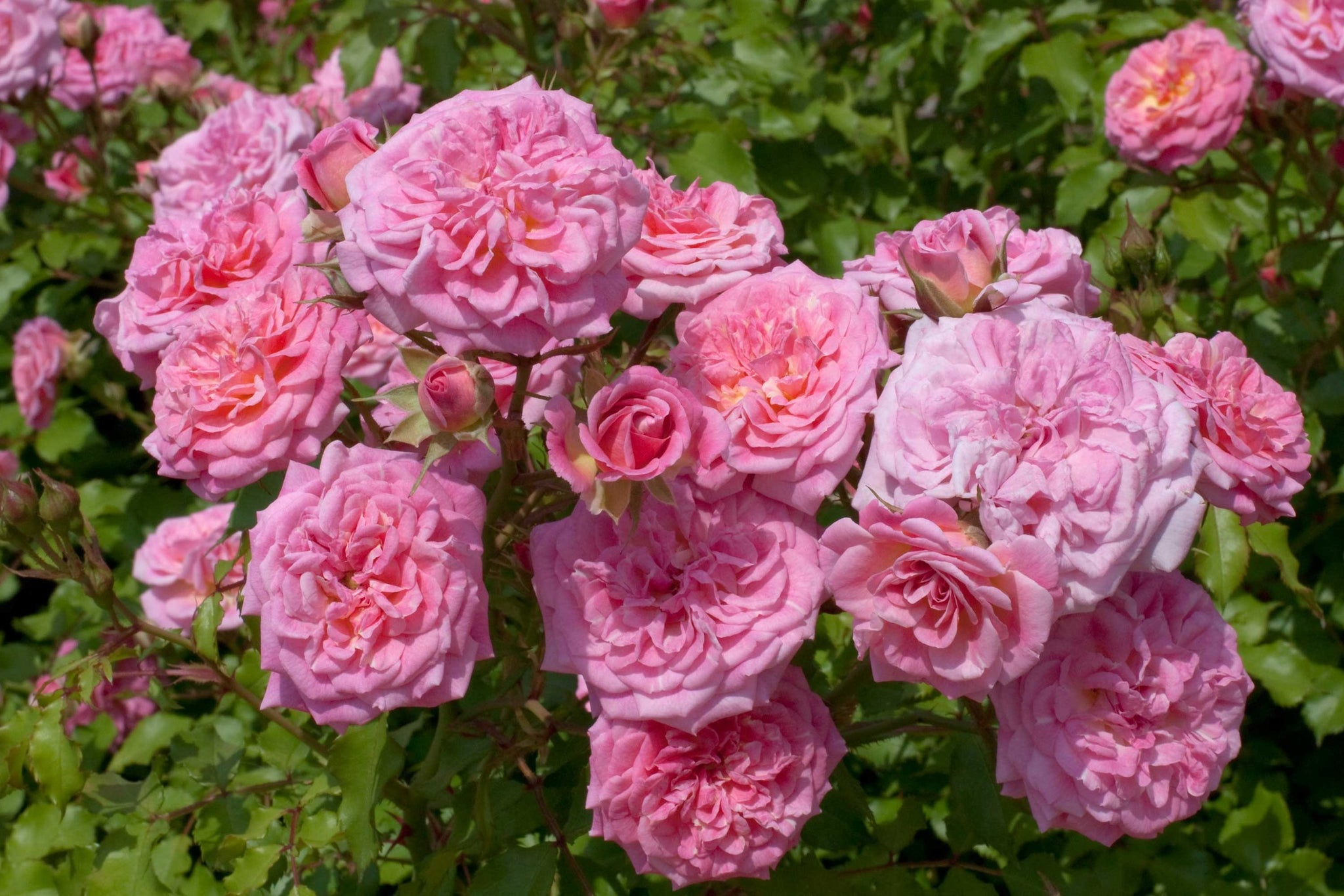 (1 Gallon)   Sweet DRIFT ROSE-low-growing with distinctive mounded flowers that reach 1 ½' in height with a 3' spread.  Deep pink flowers with a soft faded center bloom in abundance throughout the season.