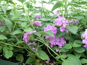 "4""Round Pot/10 Count Flat: Lantana montevidensis 'Trailing Purple'. Lilac pink to purple flowers with yellow center bloom spring to frost. PIXIESDS_EGN"