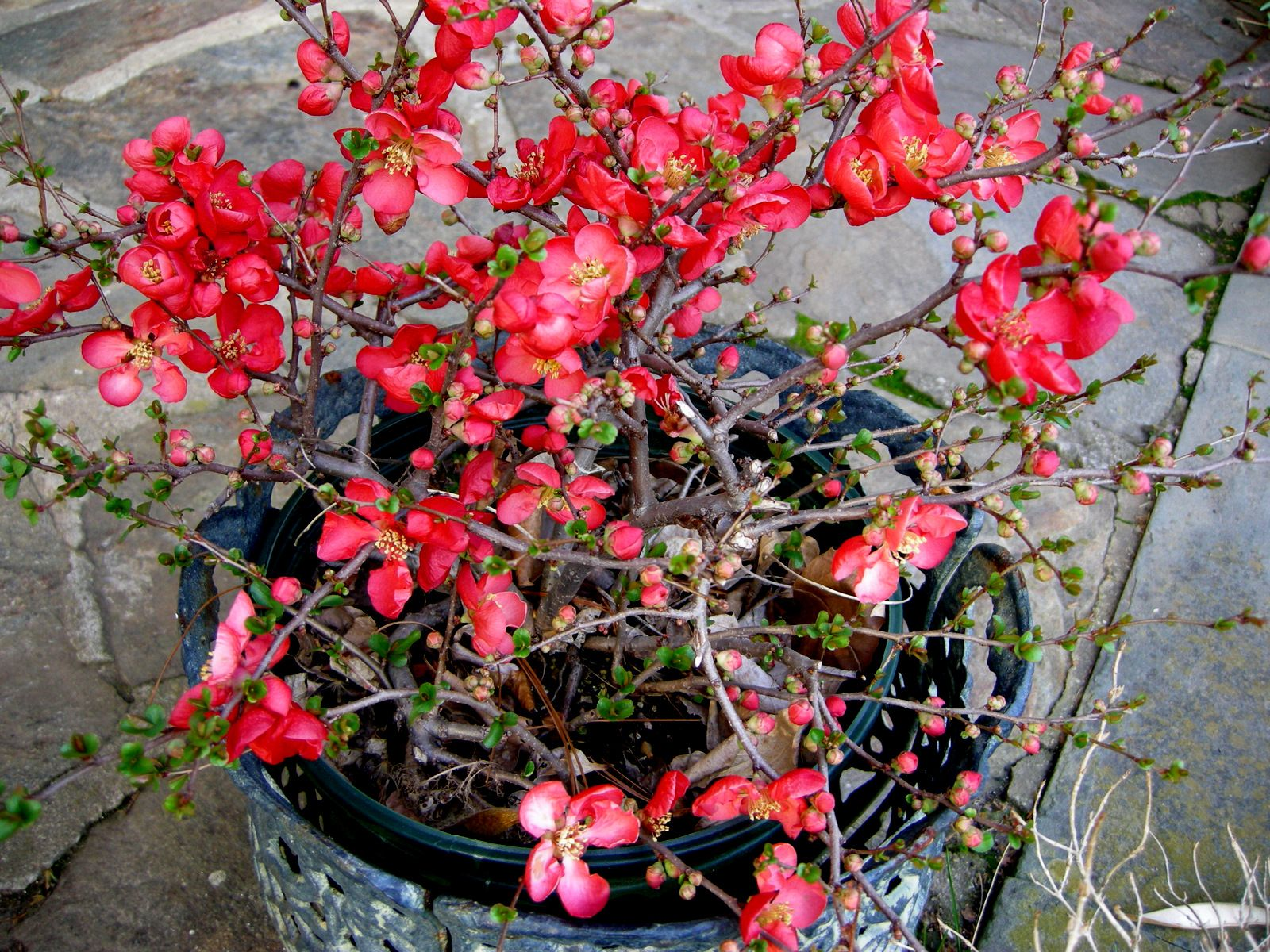 (1 Gallon) Texas Scarlet Flowering Quince - Chaenomeles japonica 'Texas Scarlet a beautiful spreading shrub with georgeous fiery red, apple-blossom-like flowers.