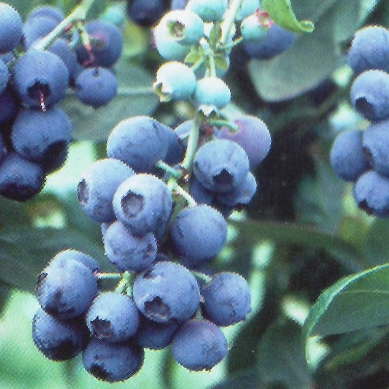 TIFBLUE Blueberry Bush, one of the oldest blueberry cultivars still actively planted, considered one of the best because of its beautiful appearance, high productivity, it has the most excellent flavor
