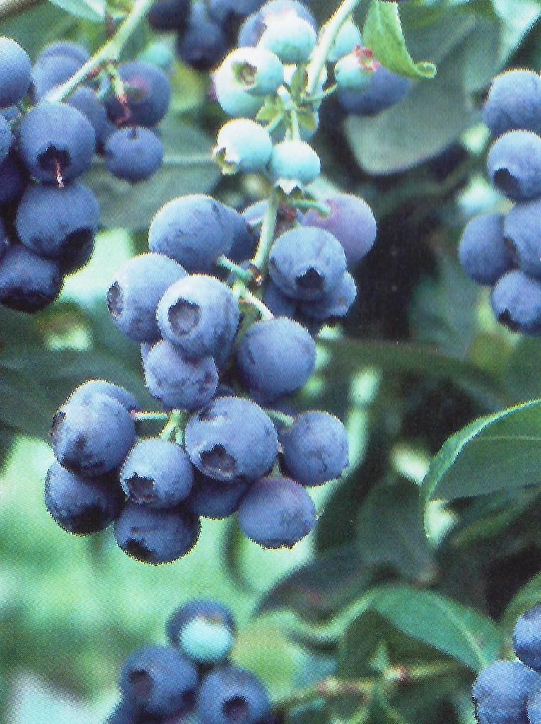 ALAPAHA RABBITEYE BLUEBERRY SHRUB - MEDIUM SIZE FRUIT, DARK BLUE COLOR, FIRMNESS AND GOOD YIELDS. GREAT FOR EATING FRESH AND FREEZING. RELEASED BY UGA IN 2001.