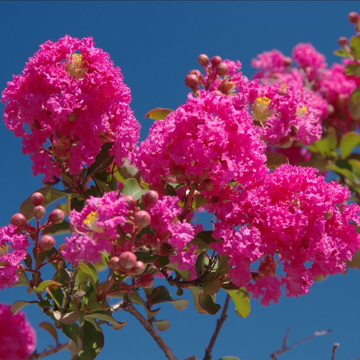 TONTO CRAPE MYRTLE, Pinkish Red FLOWERS, SHORTER CRAPE MYRTLE