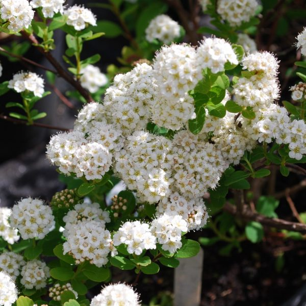 TOR' SPIREA,in gallon pot, birch like leaf, small white flowers,cold hardy-great hedges/border