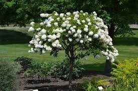 (TREE Form ) Althea Diana-Unique and Attractive. Hand made to look like a a Small Tree. Large single white blooms, from summer till frost (Rose of Sharon)