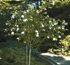 (TREE Form ) Althea Diana-Unique and Attractive. Hand made to look like a a Small Tree. Large single white blooms, from summer till frost (Rose of Sharon)_Reserve_Now