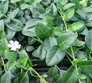 "(18 Count Flat-3.5"" Pots), Vinca Minor Periwinkle (Ground Cover) Vining, Deep Green, Small Leafed Foliage, Purple-blue Flowers in Spring, Fast Spreading."