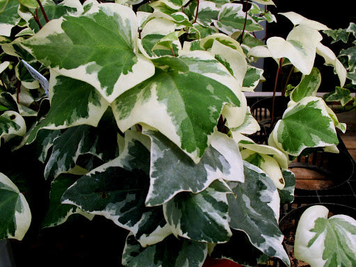 "(10 Count Flat-3.5"" Pots) Gold Child' Gold Variegated Ivy,medium-large, Tri-lobed Grey-green Leaves with Yellow Margin, Similar Growth Habit to English. '2008 Ivy of the Year' PIXIESDS_EGN"