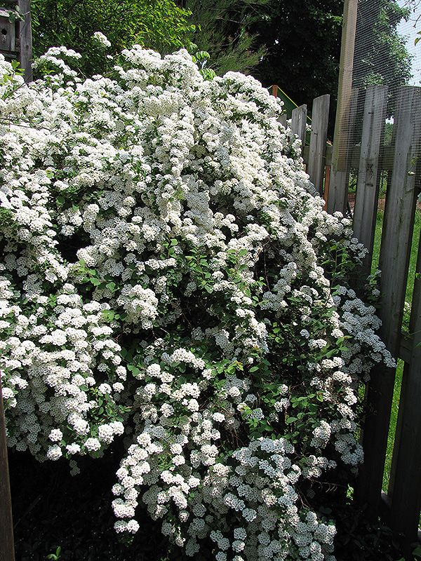 Van Houttei Spirea: Gorgeous vase-shaped, deciduous shrub with branching that arches gracefully towards the ground. Excellent flowering accent, good for hedges, foundations, and borders - MULTIPLE SIZES