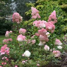 (5 gallon) VANILLA STAWBERRY HYDRANGEA, lots and lots of conical blooms,starting green, than white and touches of pink,VERY LOW MAINTENANCE- great for Full sun areas PIXIES_DUD