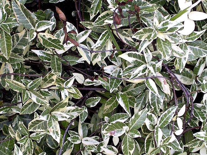 (3 Gallon) VARIEGATED CONFEDERATE JASMINE - Gorgeous Varigated Dark Green and Cream Foliage. Fragrant Clusters of Small, White Flowers Have A Lovely Perfume