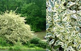 (1 gallon pot) Variegated Privet, Ligustrum sinense 'Variegata' is a tall shrub twith small leaves that have a light-cream to white edge.