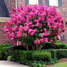 (1 gallon)PINK VELOUR' CRAPE MYRTLE, pink flowers/showy wine red foliage, blooms for a very long time, Compact, multi-stemmed form