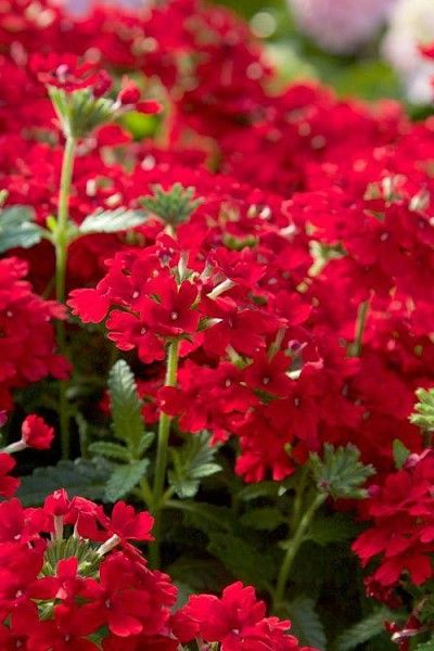 (1 gallon) Verbena x Homestead Red-has bright red bloom clusters that can start as early as March and continue until the first frost.