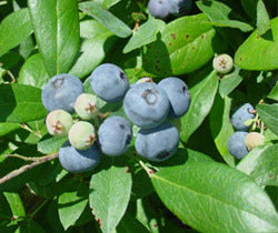 VERNON Blueberry Bush, large, flavorful berries with full color and excellent firmness, early season, good yields and excellent vigor