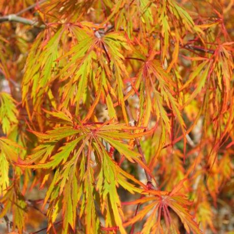 VIRIDIS Japanese Maple-GORGEOUS dwarf Japanese maple with bright green,cascading branches to form an elegant dome-shaped plant