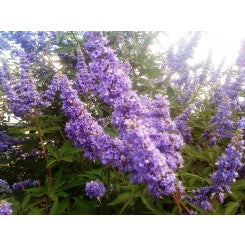 (3 Gallon) VITEX 'Delta Blues', (Chaste Tree)Ttiny, Fragrant Blue/Purple Flowers. Aromatic, Compound, Palmate, Grayish-Green Leaves,