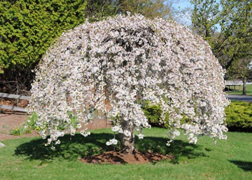 Weeping Yoshino Cherry Tree is a gorgeous photogenic flowering tree that breaks out in a cascade of shimmering white or pale pink blossoms in early spring.