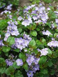 "(10 count flat - 4.5"" pots), Veronica surculosa Waterperry Blue - Small, blue violet flowers on a sprawling mound of dense, silvery green, trailing foliage."