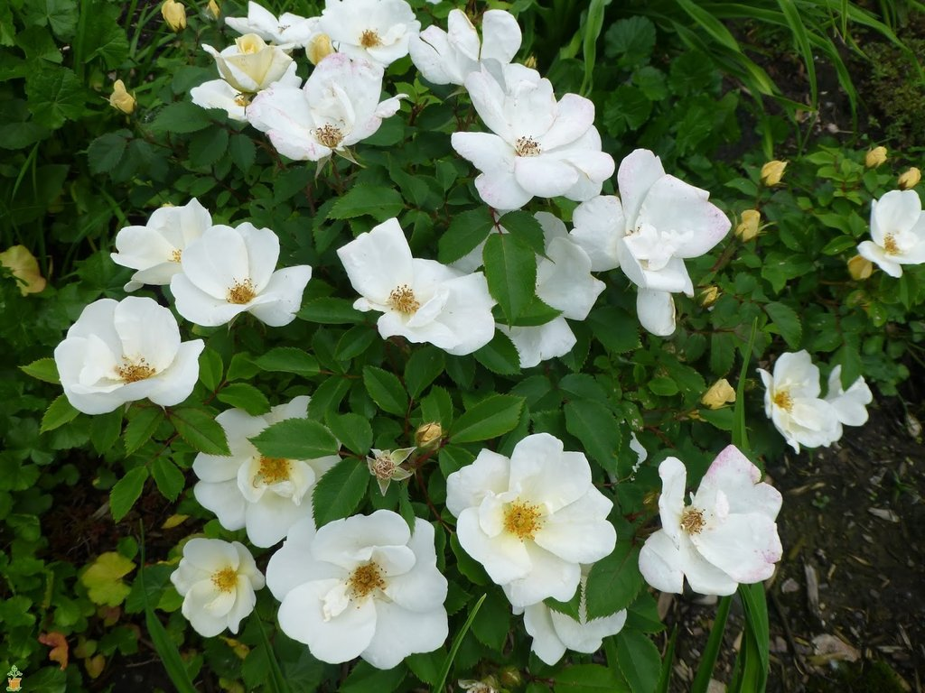 White Knockout  Rose- stands out in the landscape from the contrast between pure white blooms and dark green foliage. It blooms from spring through fall.