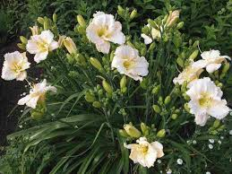 (1 Gallon) Hemerocallis Gentle Shepherd Daylily - The Gentle Shepherd is pure, white blooms with light green throats is an easy-care Daylily. PIXIES_DUD