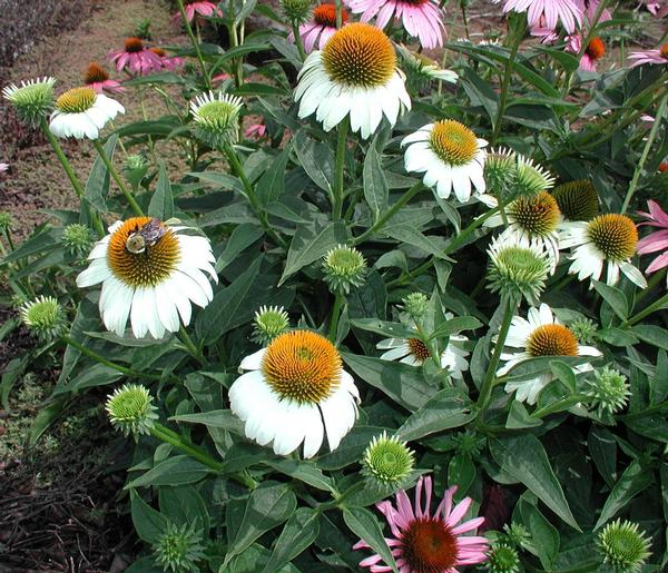 Echinacea purpurea 'White Swan' White Swan Coneflower. Beautiful blooms are daisy like with White petals circling a golden center cone mid-Summer into Fall. Attracts butterflies and pollinators.
