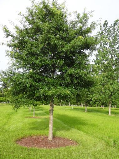 (1 Gallon) Willow Oak Tree- Well-dressed oak with willow-like leaves. Foliage is light to bright green in summer and yellow, yellow-brown and russet in fall.