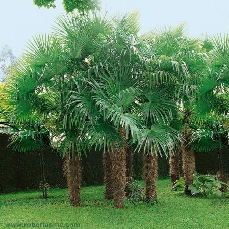 Windmill Palm Trees ~ An extremely hardy palm tree with an attractive, compact crown with large, stiff fan-like, green foliage and distinctive hairy black fibers covering its slender, grace