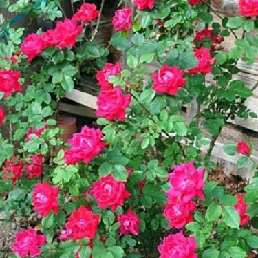 (3 Gallon) Winners Circle™ Climbing Rose- Amazing bright fire engine non-fading red blooms. Attracts butterflies and is Pet-friendly. All-around beauty Rose
