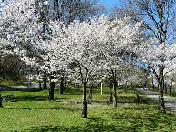 Yoshino CHERRY Tree- STANDOUT TREE, Stunning white blossoms (Cherry Blossom Festivals).