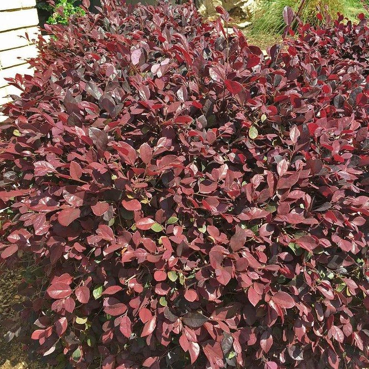 "(3 gallon) ""ZHUZHOU"" LOROPETALUM (Chinese Fringe Flower) - Very Dark Burgandy Foliage With Fragrant, Bright Pink Reblooming Flowers. Upright with Spreading Branches. Can Be Shaped As Tree. PIXIES_DUD"