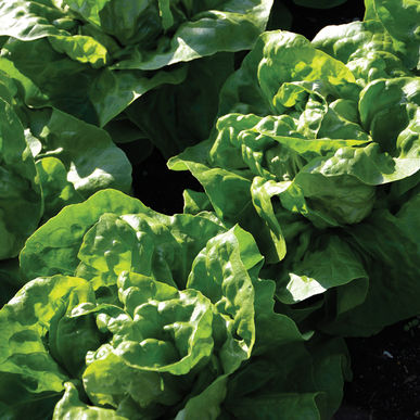 Leaf Lettuce (Green Butter) Adriana