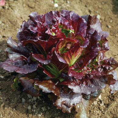 Leaf Lettuce (Red Leaf) Cherokee