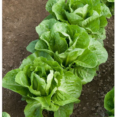 Leaf Lettuce (Romaine) Coastal Star