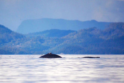 Humpbacks from Vancouver Island