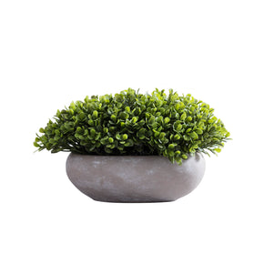 Boxwood in  Gray Cement Pot
