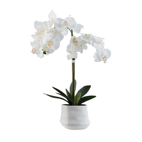 White Cheerful Blooms Orchid on White Background