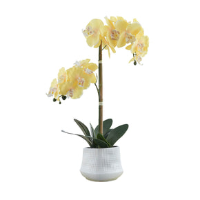 Yellow Cheerful Blooms Orchid on White Background