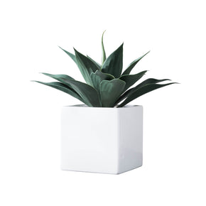 Agave In Square Pot on White Background