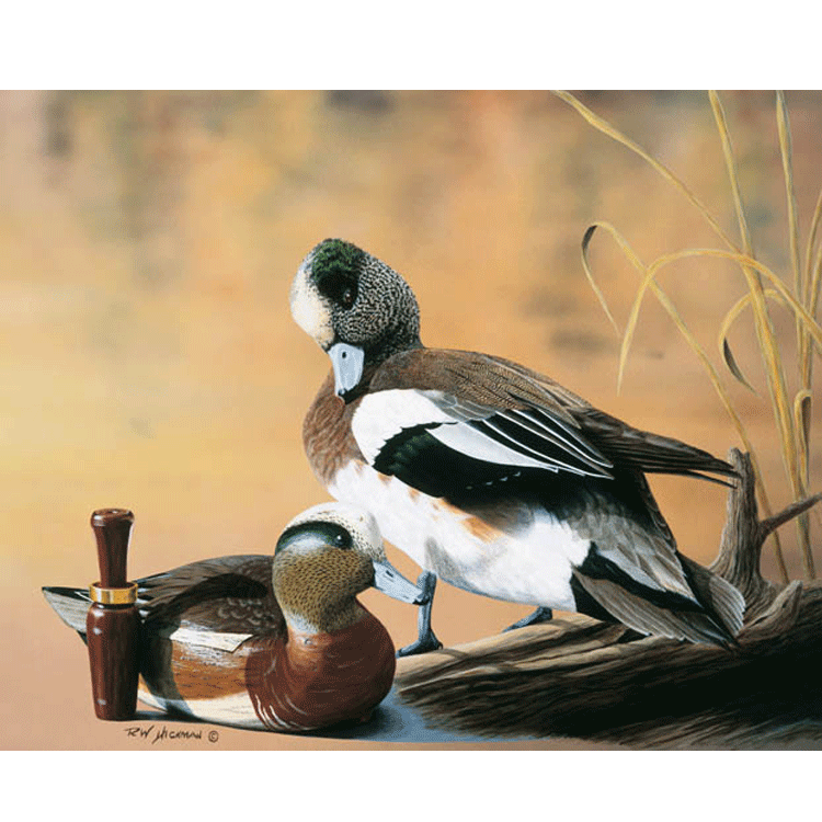 American Wigeon by Robert Hickman