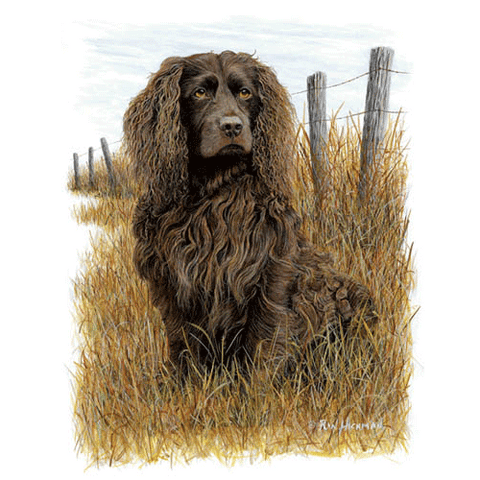 Boykin Spaniel (2) by Robert Hickman