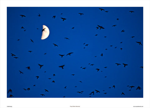 Lake Murray Purple Martin Moonlight by Bill Barley