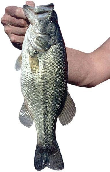 Largemouth Bass (Micropterus salmoides) - Smith Creek Fish Farm