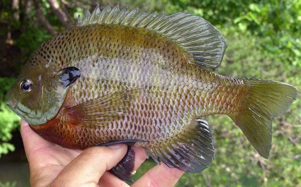 Bluegill (Lepomis macrochirus) - Smith Creek Fish Farm