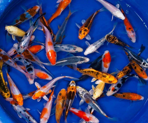 Koi (Cyprinus rubrofuscus) - Smith Creek Fish Farm