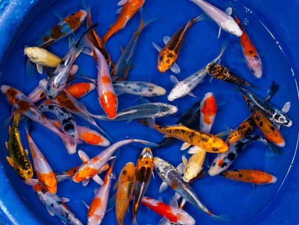 Koi Packages Shipped Free - Smith Creek Fish Farm